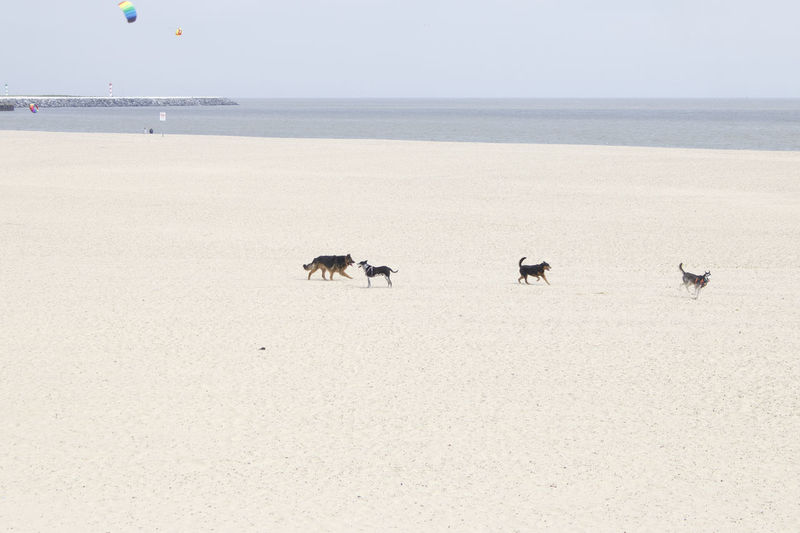 Dogs having fun on the beach. Animal Themes Beach Beauty In Nature Coast Day Dogs Domestic Animals EyeEmNewHere Horizon Over Water Mammal Minimalism Nature No People Norfolk Norfolk Uk Outdoors Playing Sand Scenics Sea Seaside Sky Tranquility Walking Water