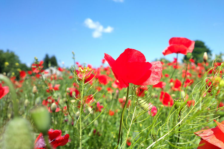Beauty In Nature Blooming Close-up Day Flower Flower Head Fragility Freshness Growth Leaf Nature No People Outdoors Petal Plant Poppy Red Sky