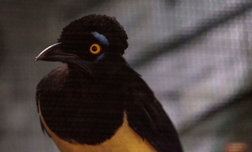 Plush-crested jay bird Cyanocorax chrysops is bright blue and yellow and is found in South America Animal Themes Animal Wildlife Avian Bird Close-up Cyanocorax Chrysops Day Nature One Animal Pet Plush-crested Jay Wild Wild Bird Wildbird Wildlife Yellow Eyes