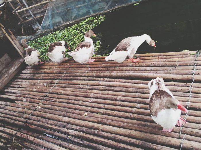 เป็ด เป็ด เป็ด Ducks Duck Cute♡ cute