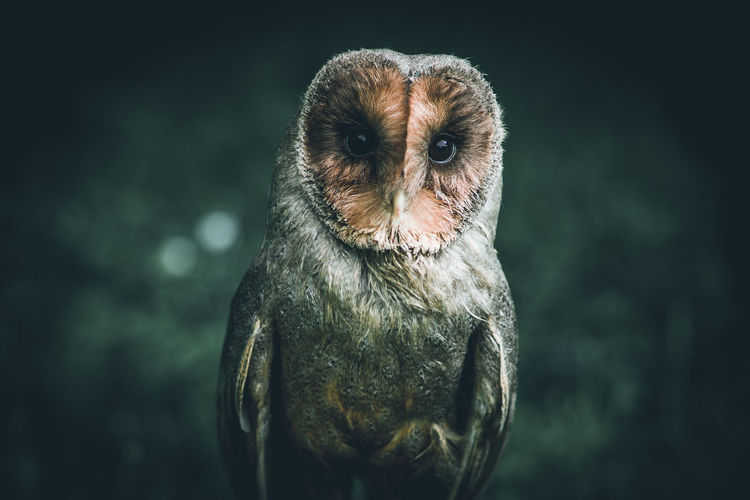 owl - strix aluco Owl Owls Birds Of EyeEm  Bird Birds Cute Allocco Strix Aluco Portrait Front View Focus On Foreground One Animal Animal Themes Animal
