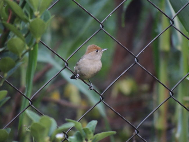 Animal Animal Themes Animal Wildlife Animals In The Wild Barrier Bird Boundary Chainlink Fence Day Fence Focus On Foreground Looking Away Metal No People One Animal Outdoors Perching Protection Safety Security Vertebrate