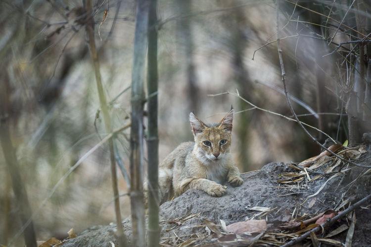 jungle cat or