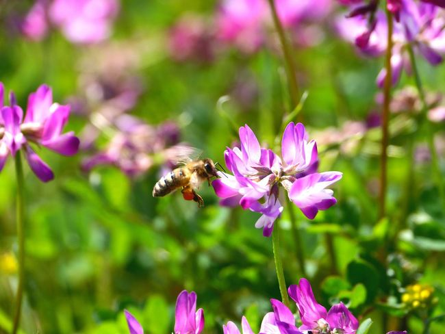 蓮華草 日本 花 Flower Collection Flowers Spring EyeEm Japan Tommy@collection EyeEm Best Shots EyeEm Nature Lover Japan Japan Photography Flower OpenEdit Bee 蜂 HoneyBee