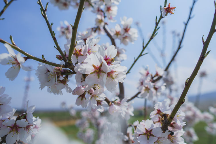 Flowering Plant Flower Plant Fragility Beauty In Nature Freshness Growth Vulnerability  Tree Blossom Branch Springtime Cherry Blossom Petal Close-up Nature No People Twig Day White Color Pollen Cherry Tree Flower Head Outdoors Spring