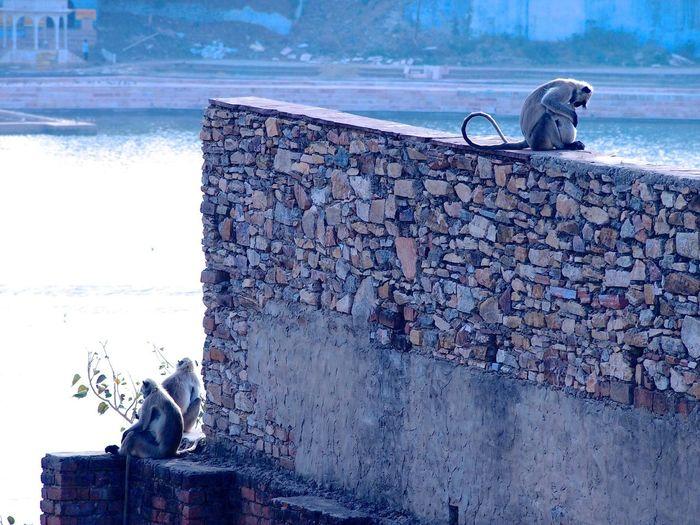 Langurs on surrounding wall by lake