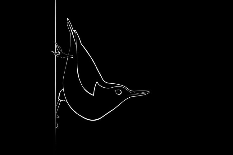 Line drawing of a nuthatch. Art, Drawing, Creativity Artistic Birds Of EyeEm  Black & White Minimalist Abstract Animal Themes Animal Wildlife Art Beauty In Nature Bird Birds Birds_collection Black And White Black Background Close-up Drawing Drawing - Art Product Graphic Design Graphicdesign Minimalism Nature Nuthatch Outdoors Vector Art