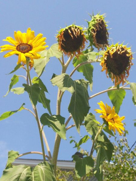 Showing Imperfection Dying Sunflowers Wilting Wilting Flowers Connecticut Outside Photography Natures Diversities