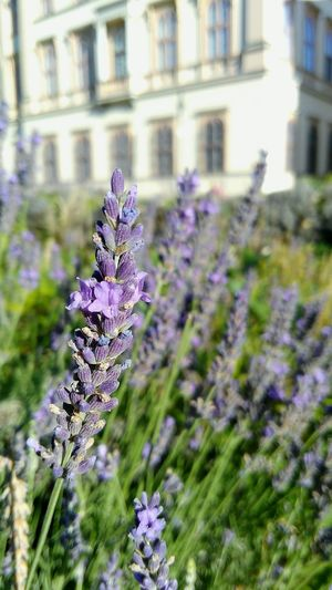 Flower Purple Lavender Nature Focus On Foreground Plant Beauty In Nature Outdoors Day Fragility No People Close-up Thistle Architecture Freshness Flower Head Levendula Nature Beauty In Nature #FREIHEITBERLIN