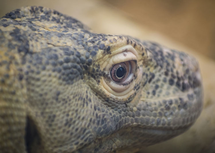 Komodo Dragon Zoo Animal Animal Body Part Animal Eye Animal Head  Animal Scale Animal Themes Animal Wildlife Close-up Day Eye Focus On Foreground Lizard Looking No People One Animal Outdoors Portrait Reptile Turtle Vertebrate