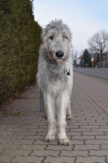 One Animal Animal Themes Looking At Camera Portrait Dog Domestic Animals Close-up Dogwalk Dogs Of Winter Animal Eye Dog Of The Day Cearnaigh Irish Wolfhound Dogslife Dogs Of EyeEm How Is The Weather Today? Bokeh Showcase February 2017 Winter 2017 February 2017 Pets