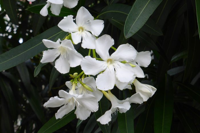 Fleur Fleurs Fraîcheur Blanc Fragilité Capitule Beauté De La Nature Plantes Gros Plan Nature Point Sur Le Premier Plan Jour En Fleur Exterieur Floraison Mis Au Point Sélective