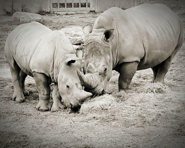 Mammal Herbivorous Young Animal Two Animals Animal Family Outdoors Zoology No People Day Cotswold Wildlife Park Rhinoceros White Rhino Mother And Baby