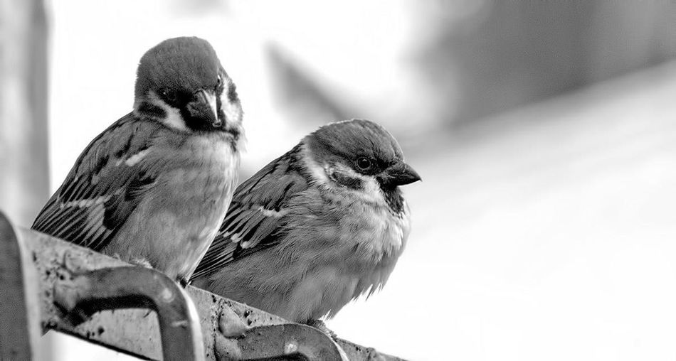 Animal Focus On Foreground No People Outdoors Perching Side View Two Animals Zoology Black And White Sparrow Black And White Birds Defocus Looking At Camera