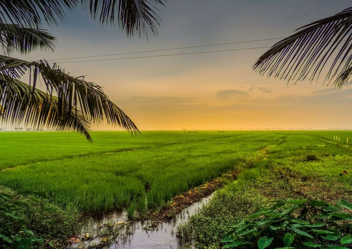 Evening Paddy Field Kerala India Green Scenery Landscape Sunset Nikon Sky And Clouds