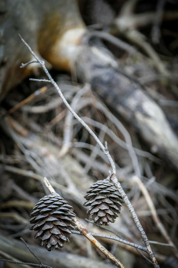 Close-up No People Plant Dry Nature Selective Focus Day Focus On Foreground Twig Tree Outdoors Fragility Dried Plant Tranquility Beauty In Nature Vulnerability  Winter Pine Cone Land Plant Part Dead Plant Complexity Leaves Tangled Dried