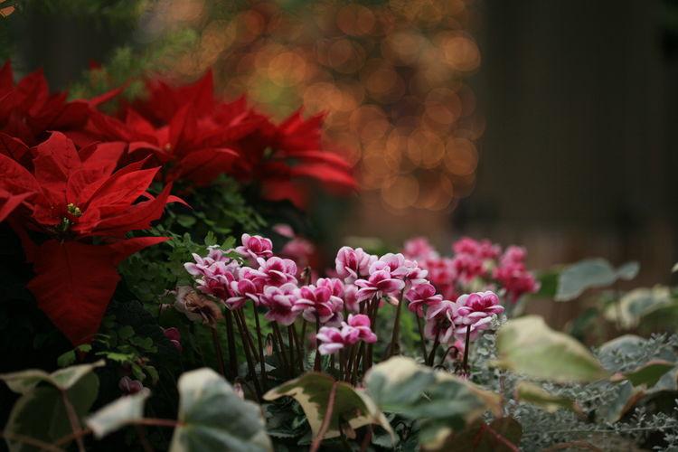 Ef100mm シクラメン Flower 花 Autumn Eos5d EOS Canon 秋 デンパーク 玉ボケ イルミネーション