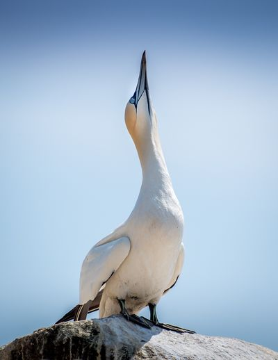 Close-up of pelican perching on rock against clear sky
