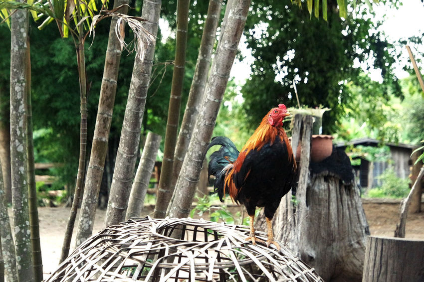Animal Animal Themes Bird Day Domestic Animals Nature No People One Animal Outdoors Outside Rooster Thailand Travel Tree Tree Trunk