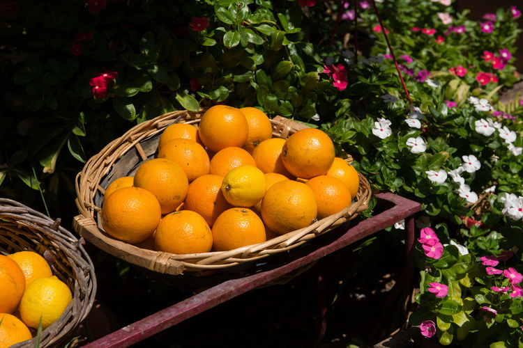 Freshly picked oranges in a basket in a garden Bio Juice Basket Day Food Fresh Freshness Fruit Garden Growth Healthy Eating Healthy Food Heap Juicy Many Nature No People Orange - Fruit Orange Color Organic Organic Farming Organic Food Picked Raw Food Vitamin C