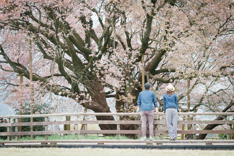 Rear view of man and woman standing by cherry blossom tree