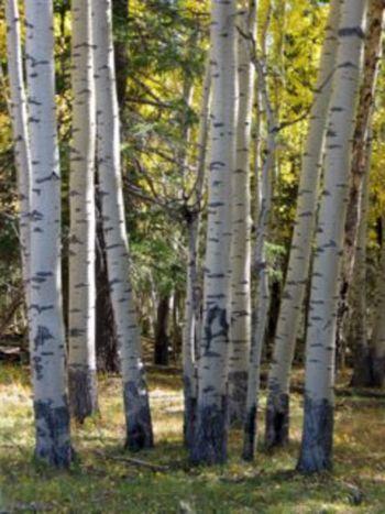 Aspen, grove of aspen