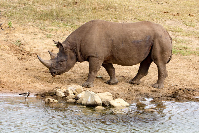 Rhino Südafrika