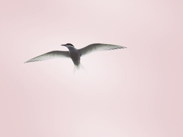 Antarctic Tern Sub Antarctics Campbell Island NZ Birds Wildlife Antarctic Tern Tern Flying Bird Animals In The Wild Mid-air Animal Wildlife Spread Wings Animal Themes One Animal No People Nature Pink Color Beauty In Nature Clear Sky