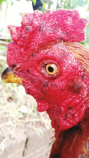 Rooster Chicken - Bird Red Livestock Cockerel Domestic Animals One Animal Close-up Animal Head  Bird Outdoors Animal Themes Agriculture No People Day Looking At Camera Portrait Nature