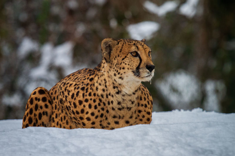 cheetah in the snow Cheetah Snow Winter Wallpaper One Animal Animal Themes Animals In The Wild Cold Temperature Animal Wildlife Animal Mammal No People Focus On Foreground Big Cat Day Field Vertebrate Nature Relaxation Land Feline Animal Head