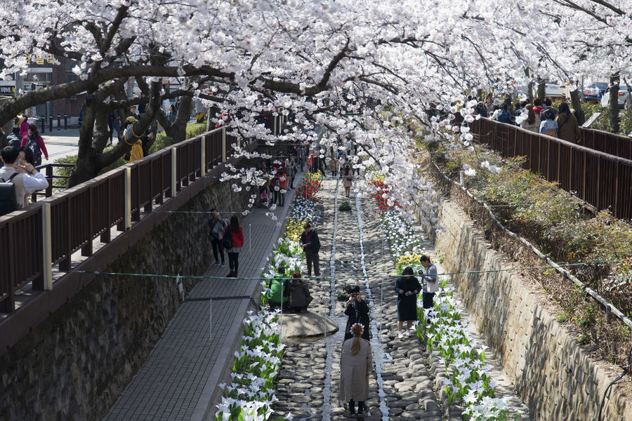 Cherry blossom festival at Jinhae, Gyeongnam, South Korea Beauty In Nature Blossom Bridge - Man Made Structure Cherry Blossom Cherry Blossom Cherry Tree Crowd Day Flower Freshness Growth High Angle View Jinhae Large Group Of People Lifestyles Men Mixed Age Range Nature Outdoors Plant Real People Spring Springtime Tree Women