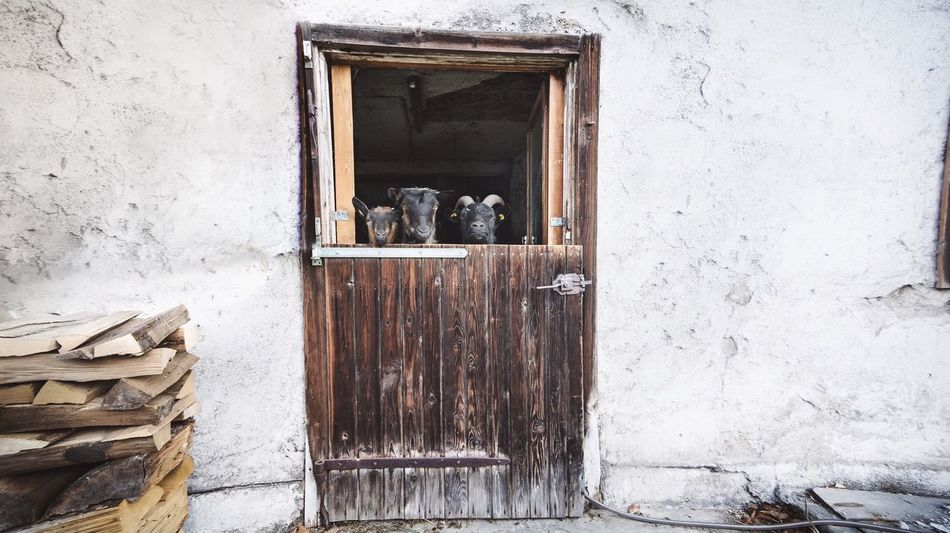 - NO! WE DON'T GO DANCING TONIGHT! - Animals Goats Goat Shed Goat Life Stable Door Stable Front View Sweet Animalheads Waiting Watching Farm Life White EyeEm Animal Lover Farming Smart Three Sweet♡ Lovely Animal Photography Animal Keeping Relationship Family Showcase: January