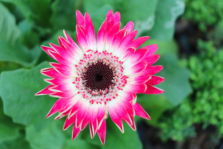 Flower Flowering Plant Fragility Vulnerability  Plant Petal Freshness Beauty In Nature Flower Head Inflorescence Growth Close-up Pink Color Pollen Focus On Foreground Nature Day No People Outdoors Gazania Gerbera Daisy