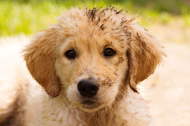 Golden Retriever Puppy Hundeblick Hundewelpe Welpe Dogs Of EyeEm Cute Dog  Golden Retriever Puppy Golden Retrievers Goldenretriever Golden Retriever EyeEm Selects Dog Mammal Pets One Animal Looking At Camera Domestic Animals Animal Themes Portrait Close-up Focus On Foreground Nature