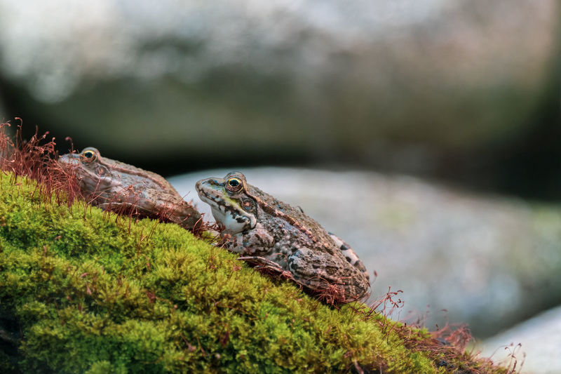Close-up side view of a frog on rock