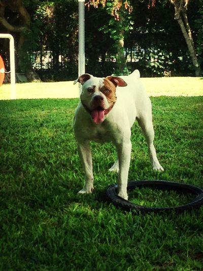 American Bulldog I Love My Dog Her Name Is Blue