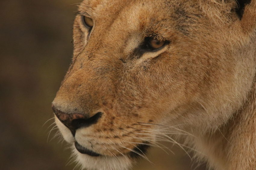 Female Lion Face Animal Head  Animal Themes Animals In The Wild Brown Close-up Day Domestic Animals Focus On Foreground Mammal No People One Animal Outdoors Pets