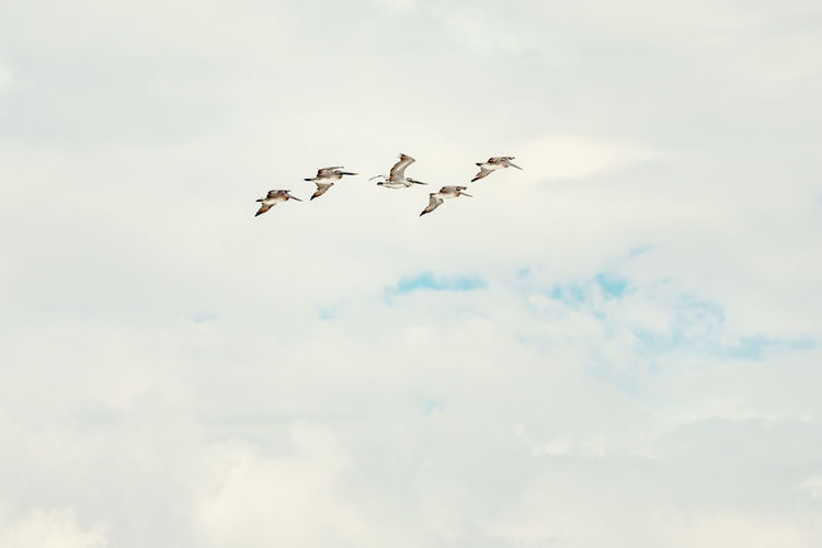 Pelicans Backgrounds Flying Cloud - Sky Sky Animal Themes Animals In The Wild Animal Wildlife Animal Vertebrate Low Angle View Bird Group Of Animals Mid-air Day No People Nature Motion Beauty In Nature on the move Outdoors Spread Wings Flock Of Birds