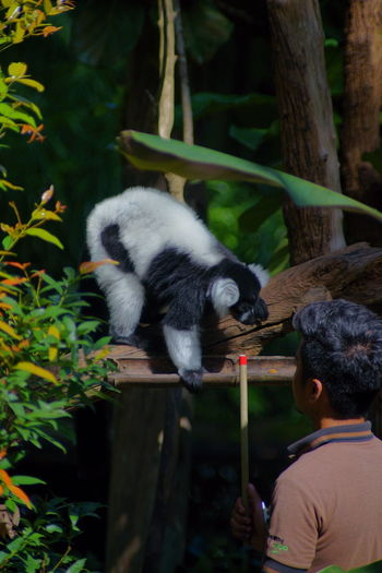 ruffed lemur