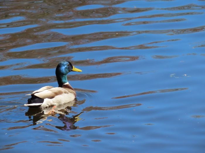 Mallard 🦆 male duck swimming water reflections ripples water outdoors beauty in nature animal themes bird photography Animal Wildlife Water Bird No People