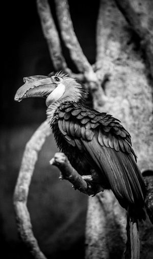 Side view of hornbill perching on branch at chester zoo