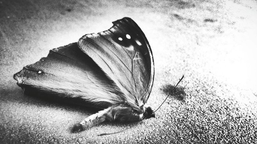 You never met the death before. Butterfly Forsell Bird Photography