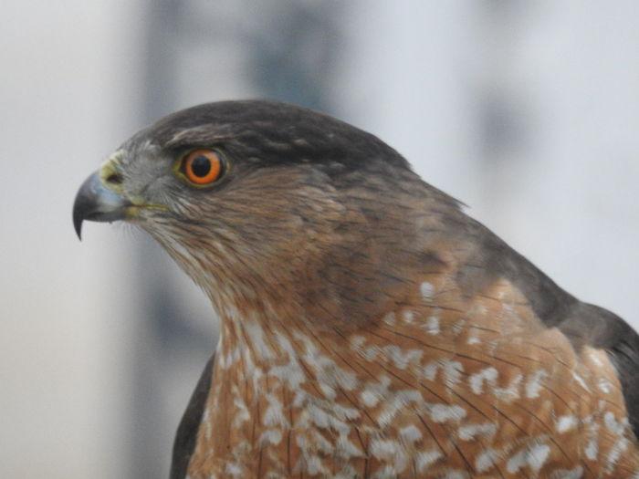 Coopers Hawk Coopers Hawk Close-up Coopers Hawk Head Hawk Beak Hawk Eye Hawk Hunting Hawk Stalking Prey Male Coopers Hawk