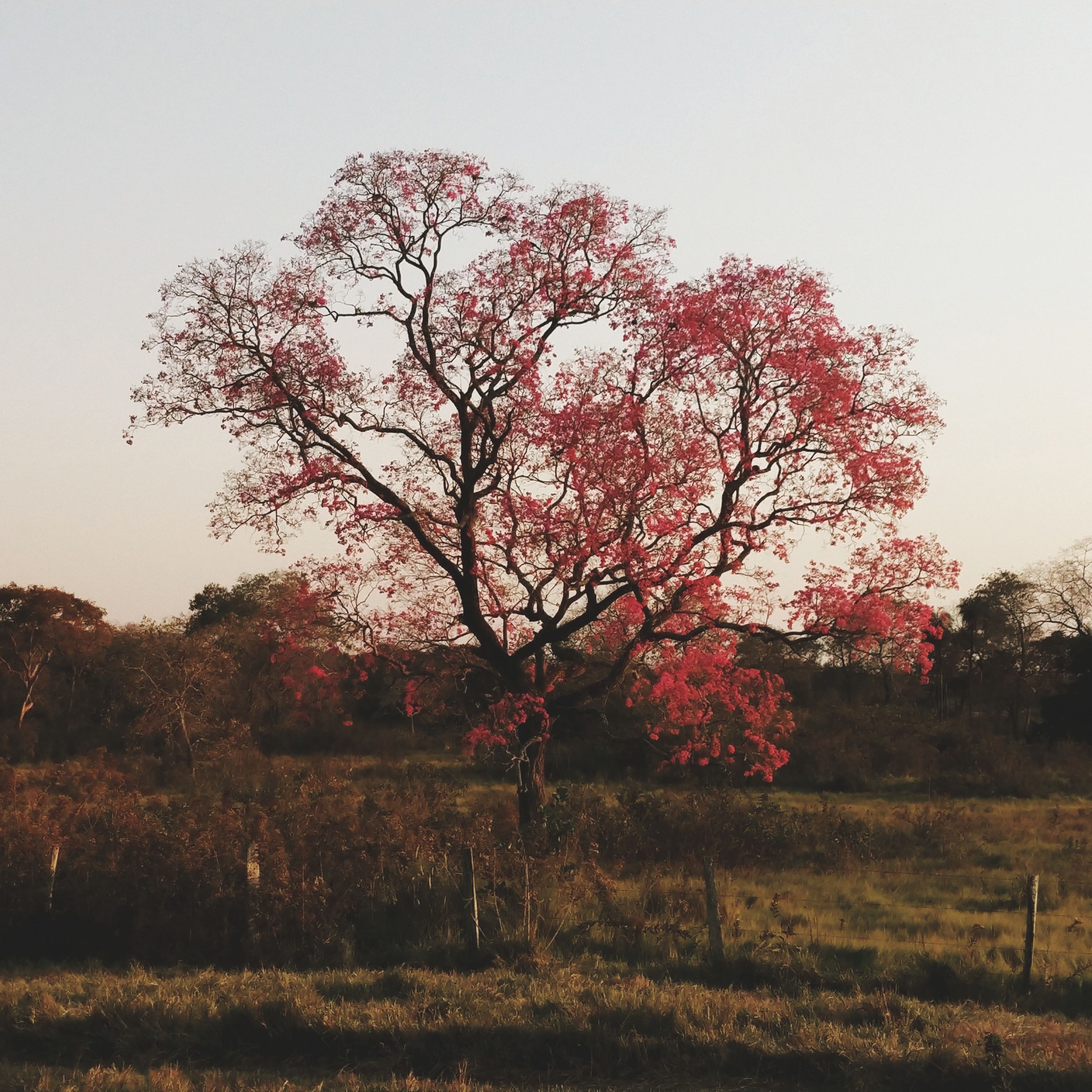 tree, plant, sky, tranquility, beauty in nature, nature, landscape, land, field, environment, growth, tranquil scene, day, scenics - nature, no people, clear sky, autumn, grass, non-urban scene, outdoors, change, cherry blossom