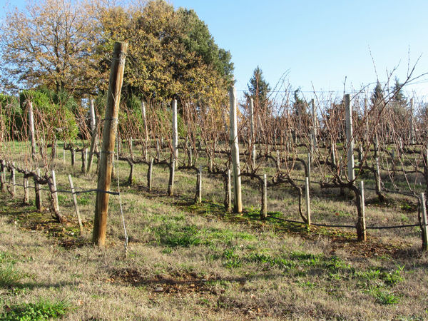 Bare vineyard field in winter . Tuscany, Italy Agriculture Bare Country Farm Field Grass Growth Plant Rural Tuscany Winter Cold Countryside Dormant Grapes Hill Italy Pruned Row Season  Stake Stem Vine Vineyard Wine