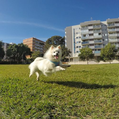 Pets Dog Outdoors Animal Themes No People Dog Playing EyeEmNewHere EyeEm Selects Dog Playtime Dog Photography Spitz Japanese Spitz American Eskimo Dogs Of EyeEm Happiness Fun Flying Dog Wonder Dog White Dog