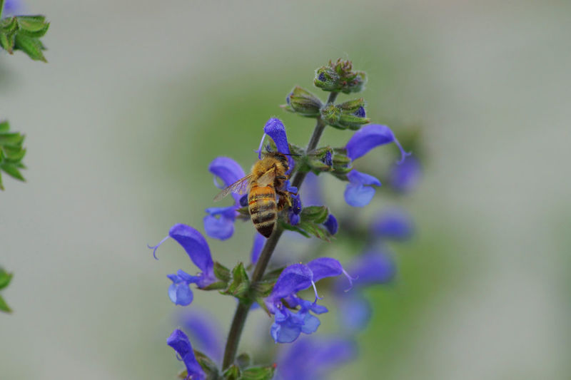 Close-up of bee pollinating on purple flower