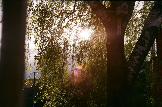 #birchtree #film #film Photography #Filmcamera #filmphotography Architecture Beauty In Nature Branch Day Growth Illuminated Low Angle View Nature No People Outdoors Sunlight Tree Tree Trunk