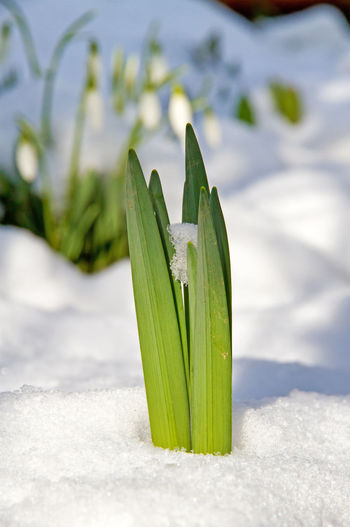 Tulip in the snow February Gardening Green Weather Change Field Flower Garden Growth Leaves Macro Nature No People Plant Season  Snow Snwodrop Spring Springtime Sprout Sun Tulip Vertical Winter