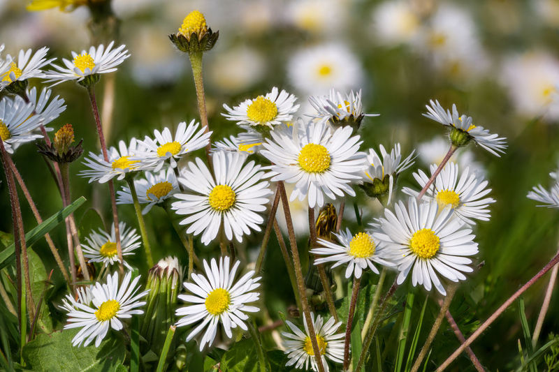 Spring meadow of dandelion flowers and daisies